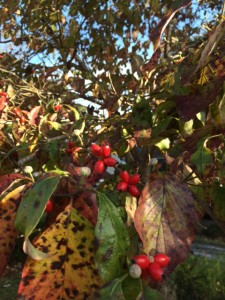 How have I never noticed the autumn berries on my dogwoods before now?